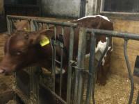 Sehr schönes Pinzgauer Stierkalb zur Zucht zu verkaufen